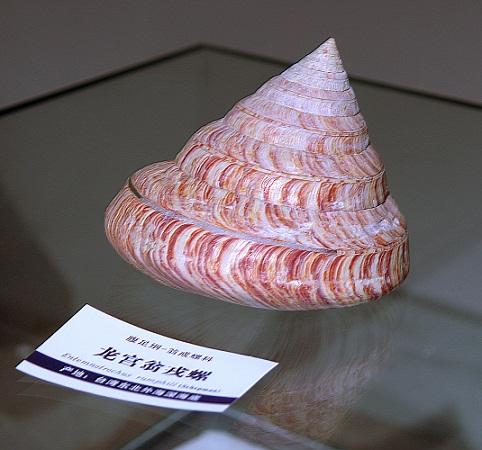 自然博物馆《海洋贝壳展》珍稀展品介绍:活化石翁戎